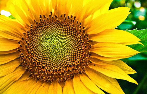 ladang-bunga-matahari-lopburi-thailand-eshamzhalim