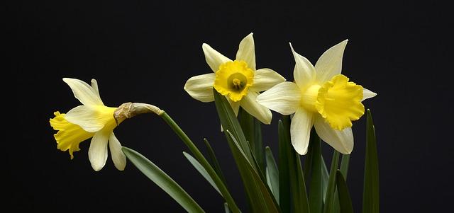 langage des fleurs: Les jonquilles
