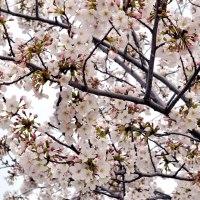 <!--:es-->Florecen los cerezos del Parque Juan Carlos I de Madrid<!--:--><!--:ja-->フアン・カルロス・プリメロ公園の桜が満開<!--:-->
