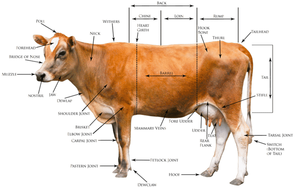 dairy cow parts diagram a union b c venn eslbuzz learning english