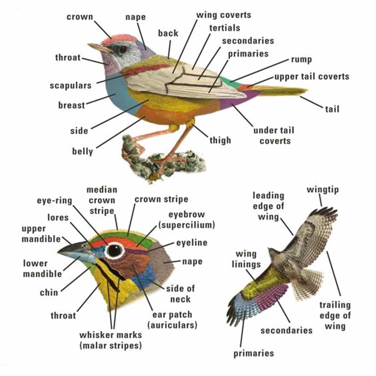 Bird Vocabulary and Parts of a Bird 14