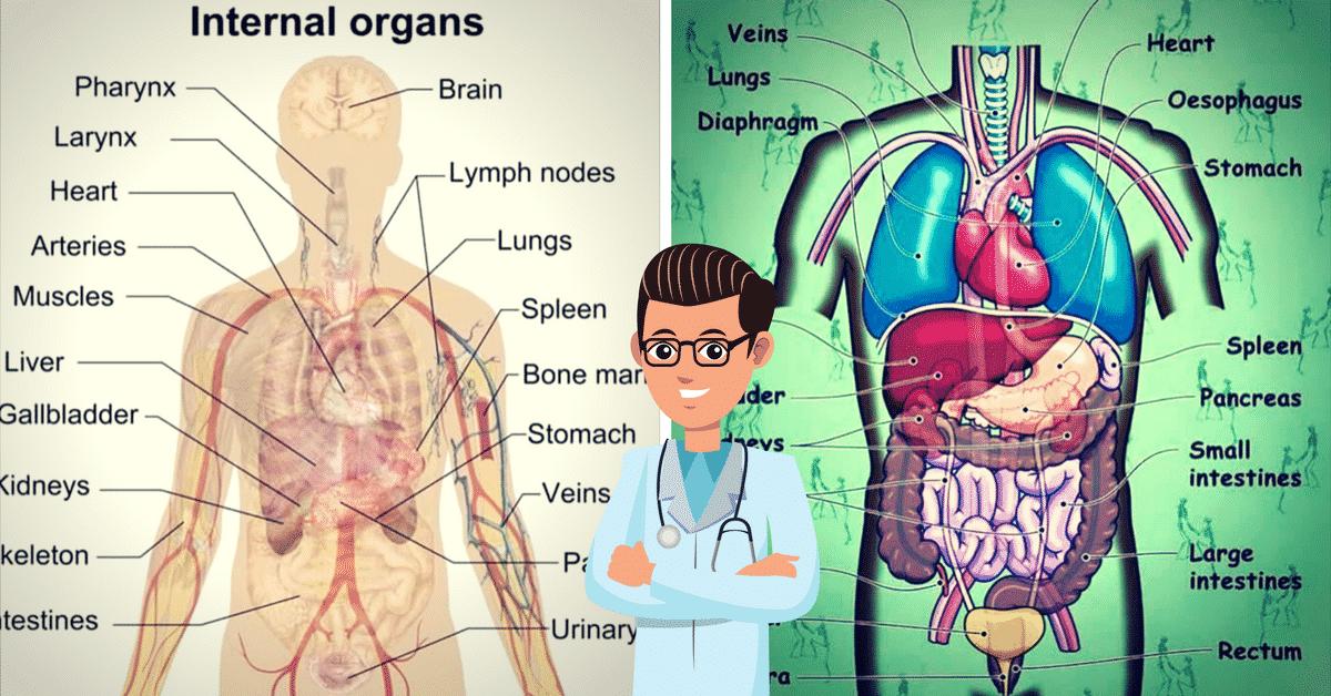 English Vocabulary Internal Organs Of The Human Body Eslbuzz Learning English