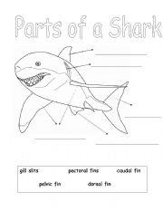 English worksheets: Parts of a Shark