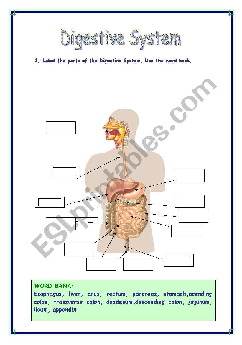 medium resolution of DIGESTIVE SYSTEM VOCABULARY - ESL worksheet by Refuerzo
