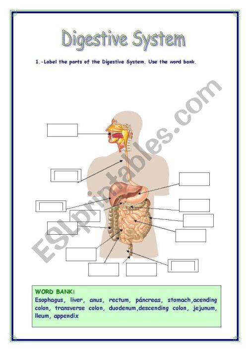 small resolution of DIGESTIVE SYSTEM VOCABULARY - ESL worksheet by Refuerzo
