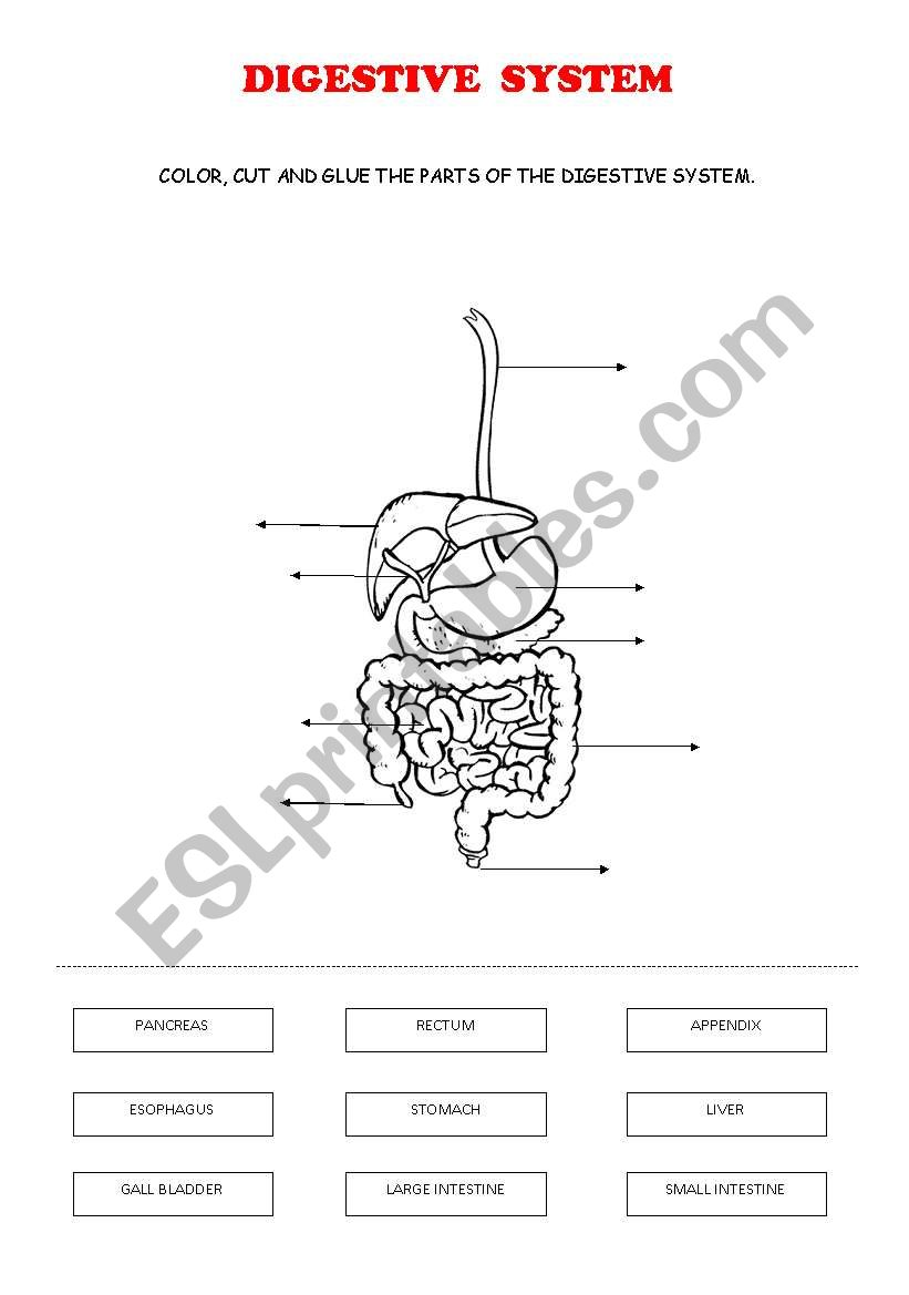 medium resolution of DIGESTIVE SYSTEM - ESL worksheet by ana cuenca
