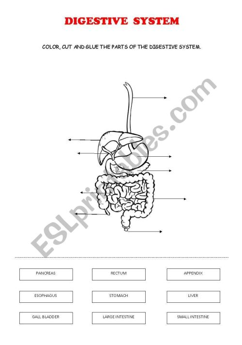 small resolution of DIGESTIVE SYSTEM - ESL worksheet by ana cuenca