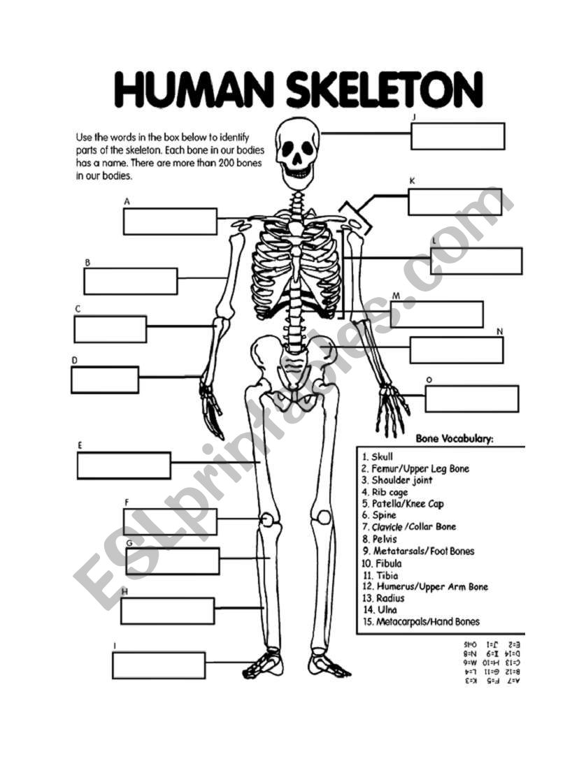 medium resolution of Skeletal System Worksheets - Bilscreen