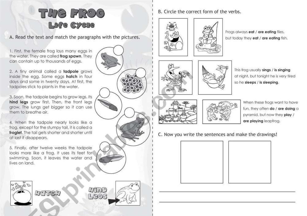 medium resolution of The Frog: Life Cycle - ESL worksheet by jazchulinchu