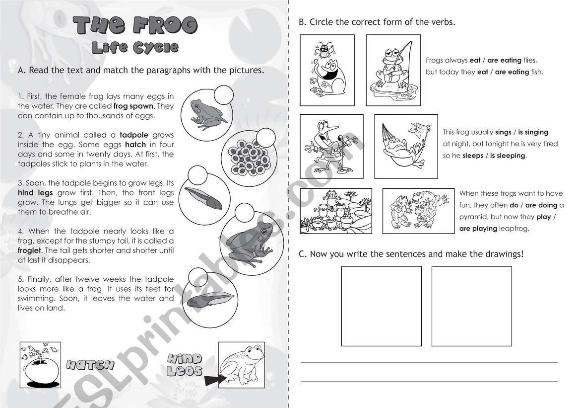 hight resolution of The Frog: Life Cycle - ESL worksheet by jazchulinchu