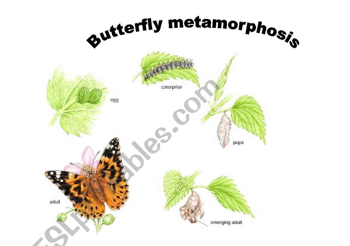 Butterfly Metamorphosis Worksheet
