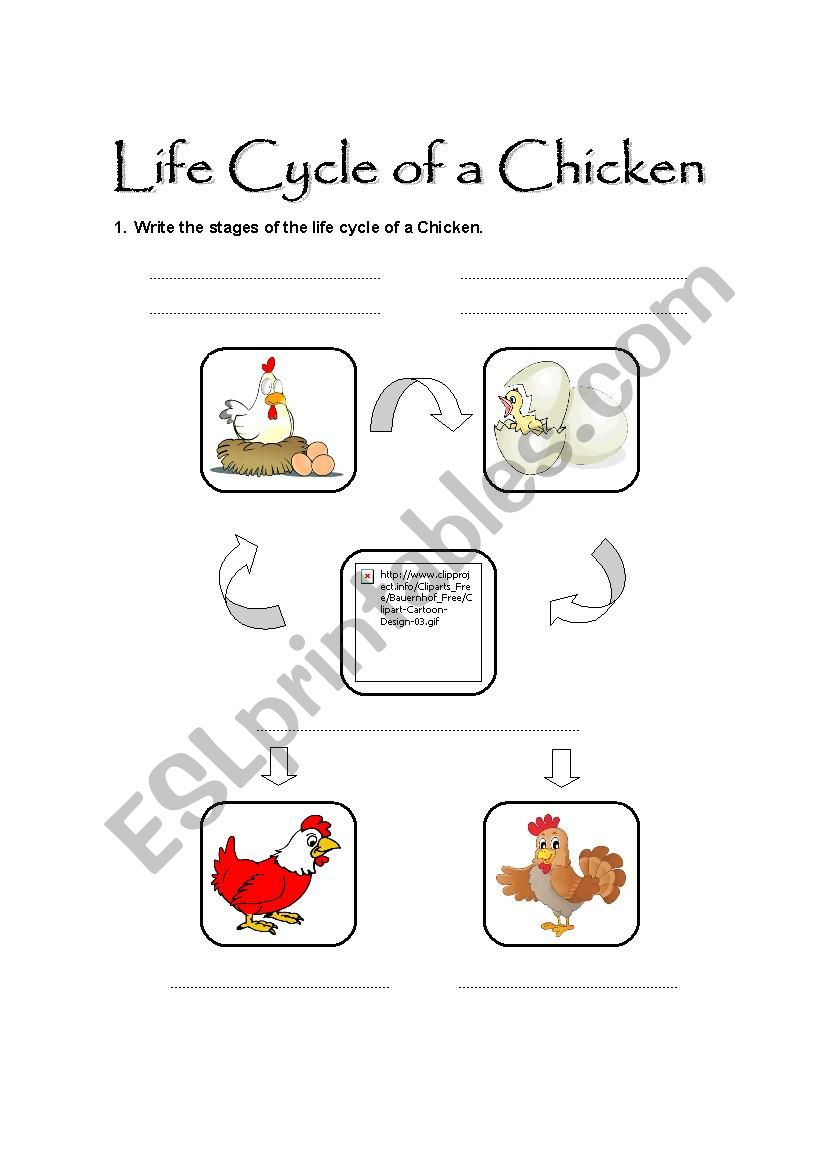 English worksheets: Life Cycle of a Chicken