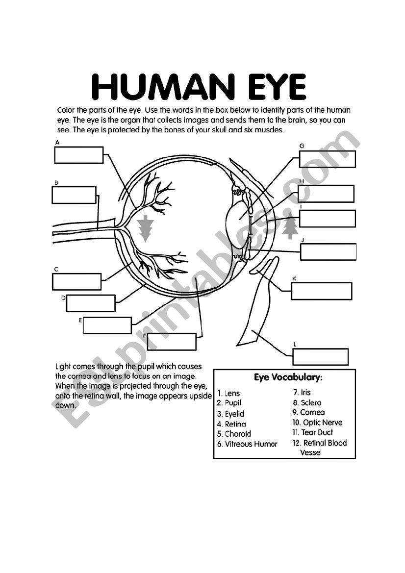 hight resolution of label the eye worksheet