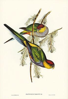 Red Cap Parakeet