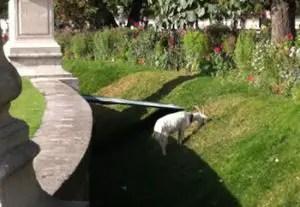 Eco pâturage au jardin des Tuileries