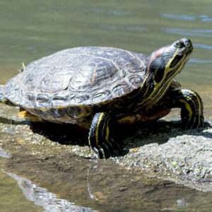 Especies o tipos de tortugas