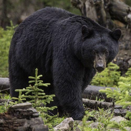 Especies o tipos de osos