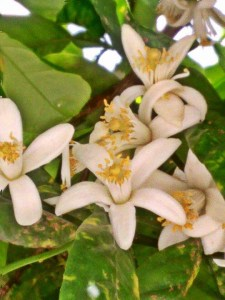 Orange blossom in Jerez de la Frontera