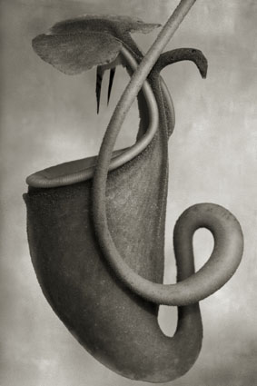 "Beth Moon, ""Nepenthes Bicalcarata"", 2008-2011. Courtesy l'artista e PH Neutro"