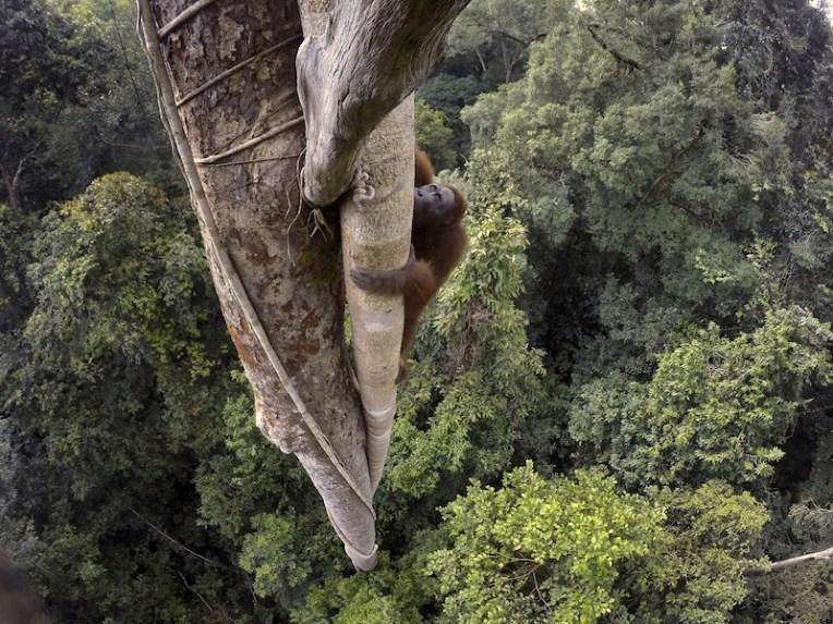 Tim Laman, USA, for National Geographic, Tough Times for Orangutans, 2014 © Tim Laman