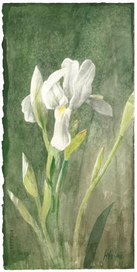 Pedro Cano Senza titolo / Ohne Titel (Iris), 2016 Acquarello 38 x 19 cm Courtesy: Galleria Alessandro Casciaro, Bolzano
