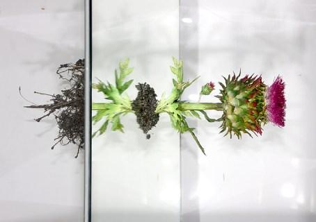 L'orMa, Justice, 2017, fiore di cardo mariano, radici, terra, specchio, cm 40x35x35