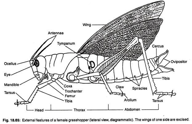 external grasshopper diagram motorcycle cdi ignition wiring essay on features of a female