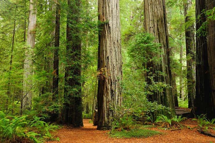 Cenários de Star Wars que existem de verdade - Redwood, EUA (Foto via Shutterstock)