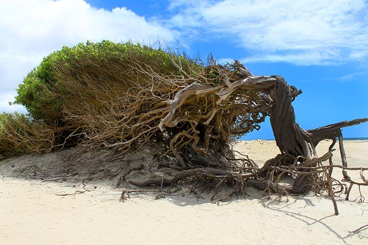 Árvore da Preguiça em Jericoacoara (Foto: Esse Mundo É Nosso)