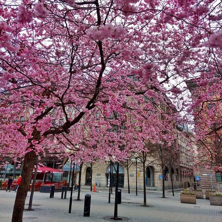 Onde ver as cerejeiras em Estocolmo, Suécia (Foto: Henrique Bezerra/Esse Mundo É Nosso)