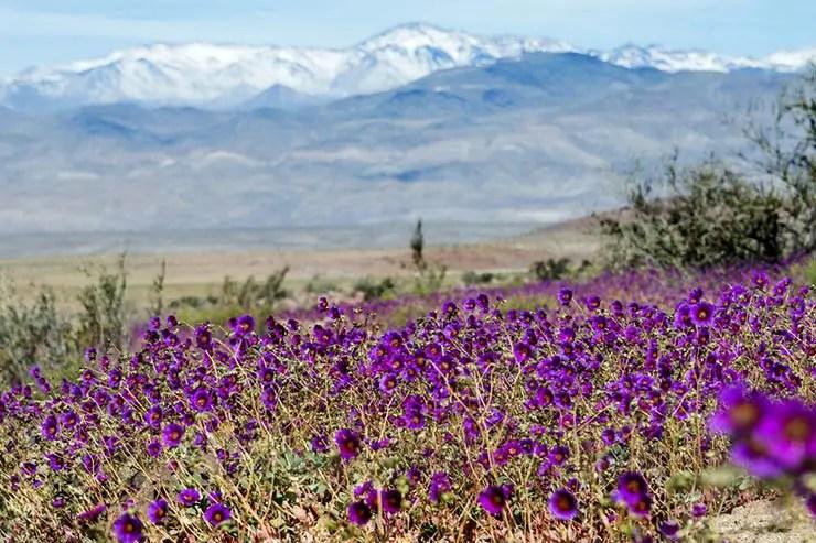 Deserto do Atacama florido, no Chile (Foto via Shutterstock)