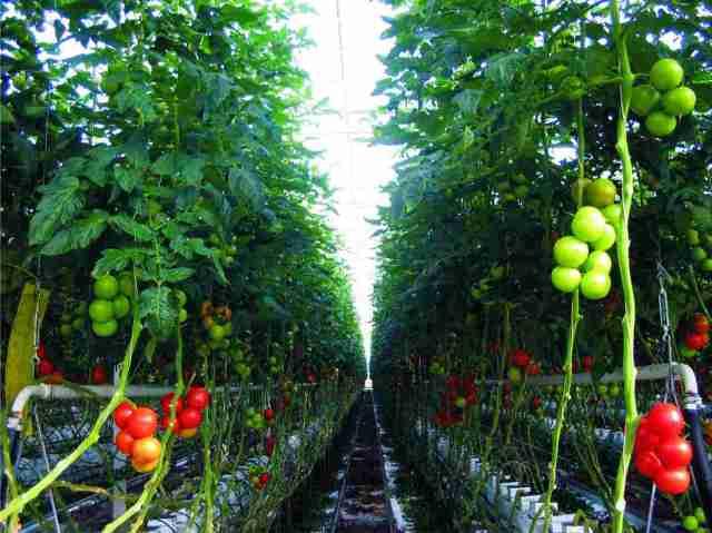 pomodori in serra riscaldati in modo green