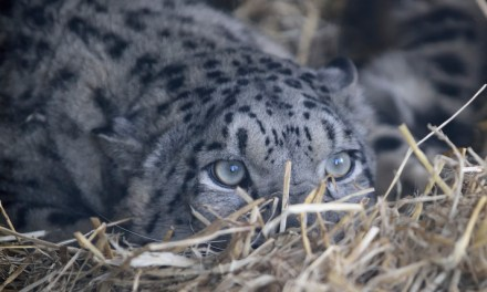 Endangered snow leopard pair arrive in the Highlands