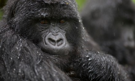 Following in the footsteps of Dian Fossey, thirty years on