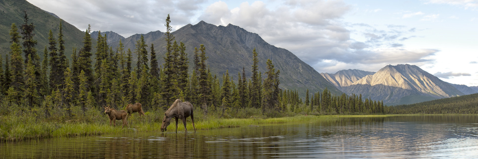 Head to the pristine Yukon for a wildlife spectacular