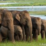 Witness the world's largest Asian elephant gathering