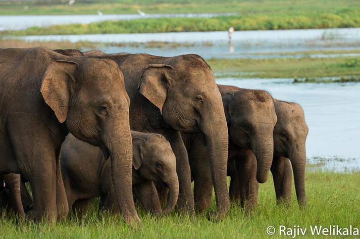 Witness the world's largest Asian elephant gathering