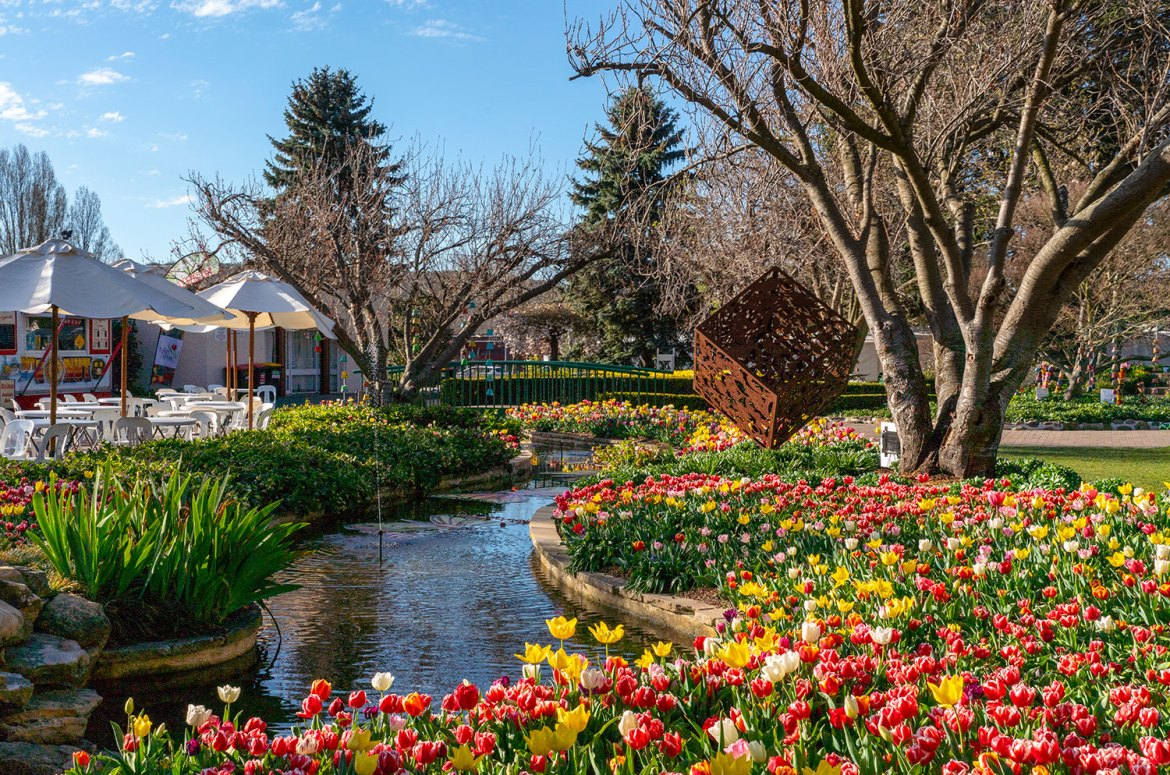 Tulips in full bloom and colour at the annual Tulip Time Festival in Corbett Gardens, Bowral - photo Destination NSW