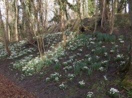 Hedingham Castle Snowdrops (21)