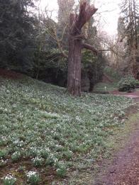 Hedingham Castle Snowdrops (25)