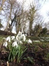 Hedingham Castle Snowdrops (8)