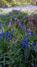 Bluebells at Hillhouse Wood West Bergholt (13)