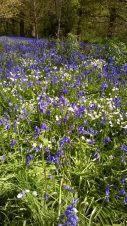Bluebells at Hillhouse Wood West Bergholt (17)