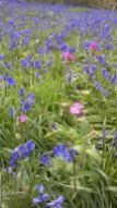 Bluebells at Hillhouse Wood West Bergholt (18)