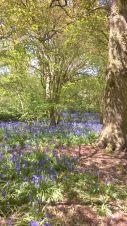 Bluebells at Hillhouse Wood West Bergholt (6)