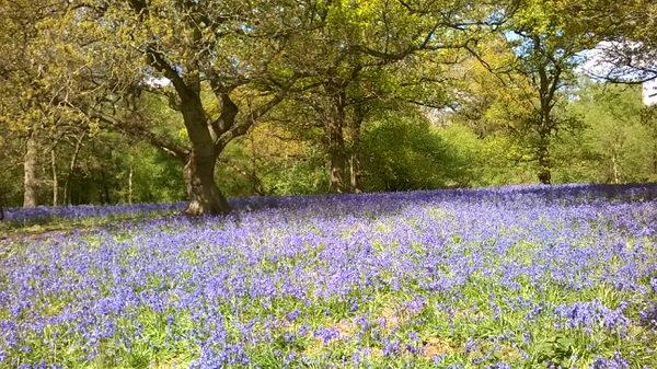 Bluebells at Hillhouse Wood West Bergholt (9)