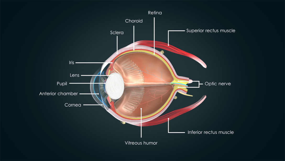 parts of the eye diagram and function underfloor heating thermostat wiring anatomy human visual acuity light perception essilor retina choroid sclera iris lens