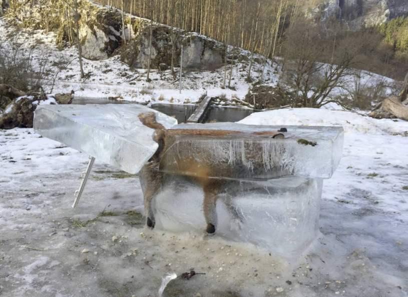 Un zorro congelado en un cubo de hielo