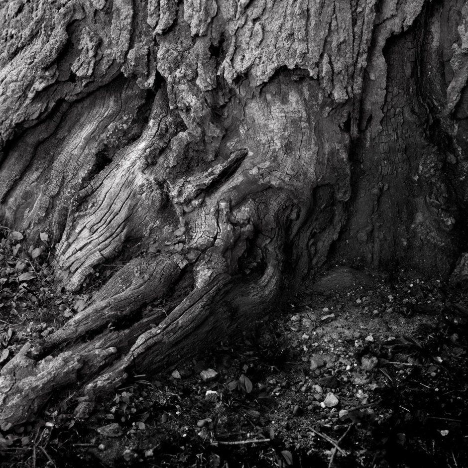 Gnarled_Tree_Base_©_Dave_Roth