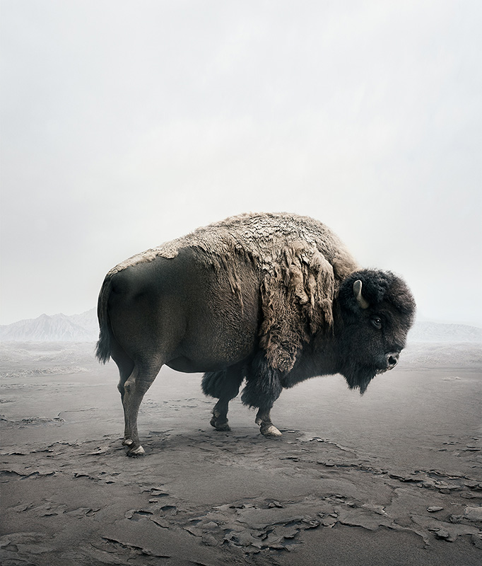 Be_Here_Bison_©_Alice_Zilberberg_2018